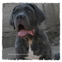 Продаются щенки Кане Корсо, серого, серо-тигрового и тигрового окраса  Aidapup0168
