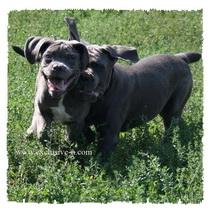 Продаются щенки Кане Корсо, серого, серо-тигрового и тигрового окраса  Aidapup0178