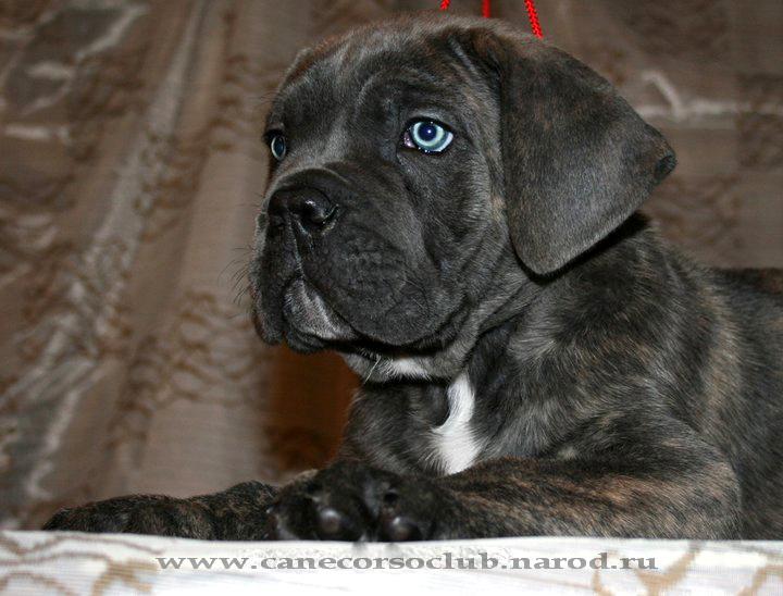 Продаются щенки Кане Корсо кобели серого и серо тигроваго окраса (помет ПРОДАН) Pupp8